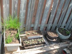 My uncle's okra, chives, and thyme.