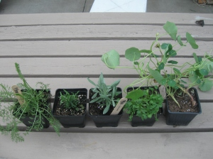Left to right: yarrow, rosemary,  lavender, cillantro, nasturtium
