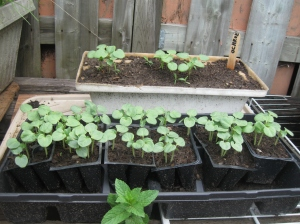 My uncle's okra are really coming along.