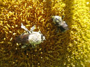 Bees covered in pollen