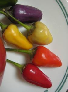 All stages of the 5 colour Chinese peppers represented: purple, white, yellow, orange and red!