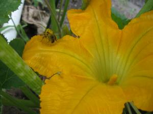 This guy staggered out of this zucchini flower like he was drunk!