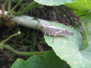 Grasshopper on a butternut squash leaf