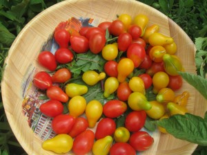 Red and yellow pear tomatoes. I think there's some dandelion under there somewhere...