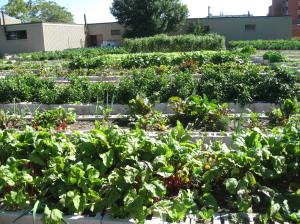 Raised beds of greens planted in rows.