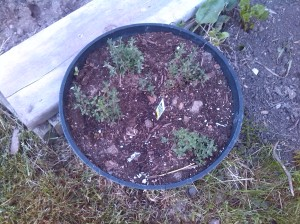 Probably the most angering - my $4 perennial rosemary removed for 4 thyme plants