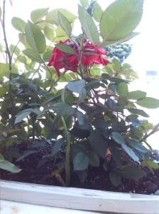 Garlic in the balcony planter