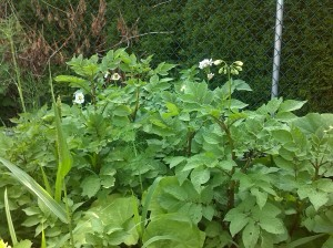 Potatos (flowering),