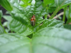 Lema beetles making babies