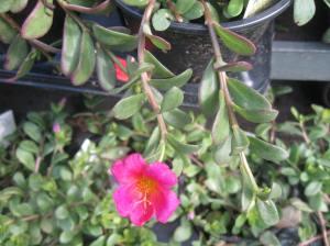 Flowering purslane at a nearby flower shop