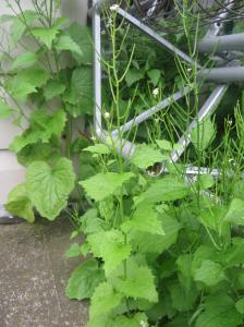 Garlic mustard by the shed