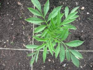 Marigold -- the leaves are much different