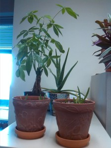 5 aloe plants and one money tree
