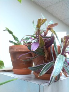 Tricolor rhoeo and thanksgiving cactus