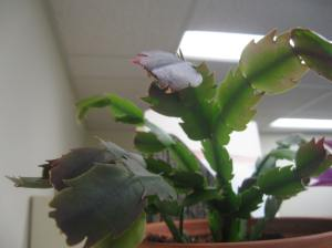Thanksgiving cactus leaves