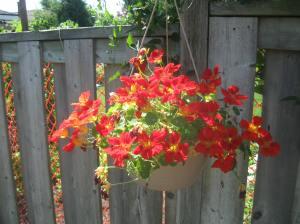 Organic nasturtium in full bloom