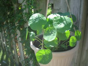 Nasturtium from organic seeds