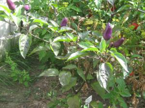 Good old reliable five colour peppers, purple stage